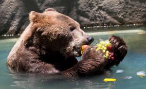 brown bear eating fruit while sitting in a lake